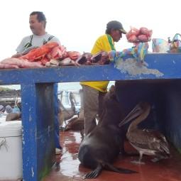 Puerto Ayora's pet