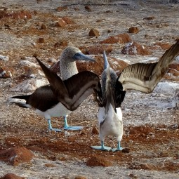 The dance of the blue footed booby