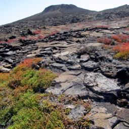 The carpetweed landscape