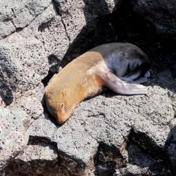 A galapagos fur sea lion