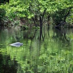 Grey Dolphin