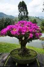 A 90-year-old bouganvillea bonsai tree