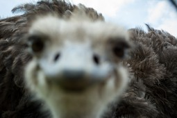 An overly inquisitive ostrich