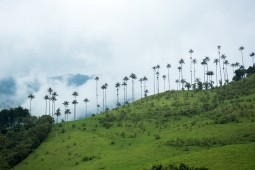 Wax palms in the Valle de Cocora