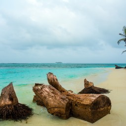 Palm tree trunks on San Blas Beach (Large)