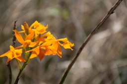 The hummingbird orchid: look carefully