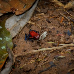 The Strawberry poison-dart frog