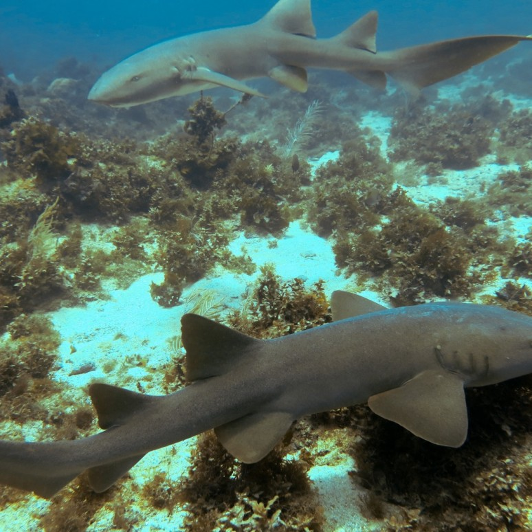 Nurse sharks, several photos courtesy of Tyler Geer, a student I worked with (website: hydrosoul.surf)