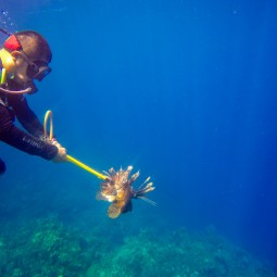 Spearing lionfish, a non-native species on this reef