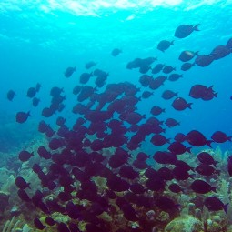 A school of blue tang