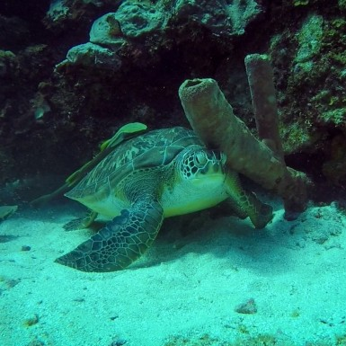 A green turtle with a shell scratch