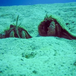 Two giant hermit crabs having a chat